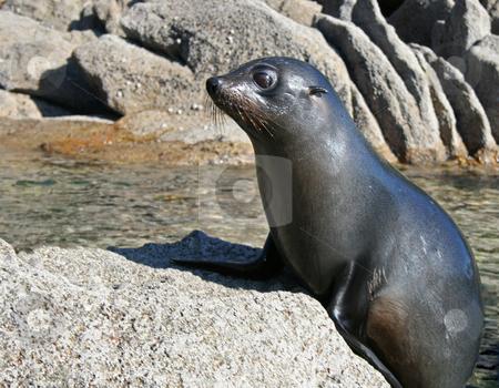 Seal stock photo, A young seal climbing onto a rock. by David Schmidt