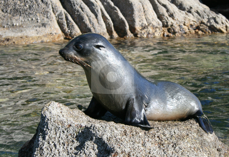 Seal stock photo, A young seal sitting on a rock by David Schmidt