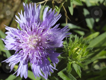 Scabious flower stock photo, A brightly colored scabious flower in the sunshine by Mike Smith
