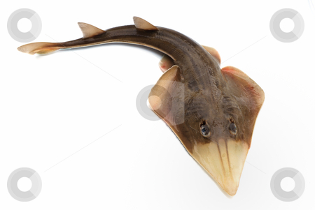 Fish skate stock photo, Fish skate on white background by Nataliya Taratunina