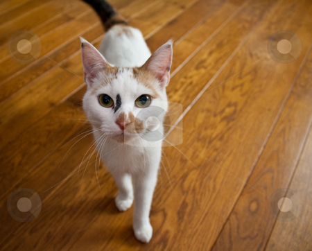 Cat on Wooden Floor stock photo, A domestic cat in-house on a wooden floor by Tijs Zwinkels