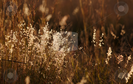 Grass stems stock photo, Light and fluffy grass seeds in the last light from sunset. Shallow Depth of Field by Sean Nel