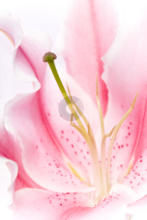 Pink Lily Flower stock photo, Close up of the centre of a beautiful pink lily flower by Jodie Johnson