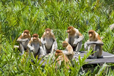 Proboscis monkey stock photo, A rare proboscis monkey in the mangrove, Kota Kinabalu by Kjersti Jorgensen