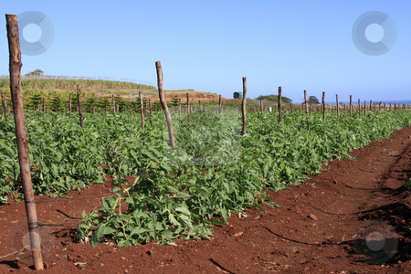 Tomato plants stock photo, Plantation of tomatoes against blue sky. by Gowtum Bachoo