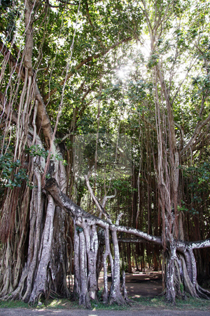 Big banyan tree stock photo, Big banyan tree with aerial roots by Gowtum Bachoo