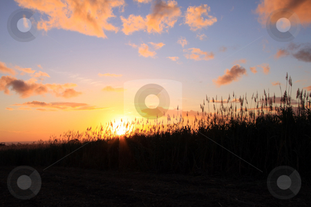 Tropiocal sunset  stock photo, The sun is setting behind sugarcane field plantation. by Gowtum Bachoo