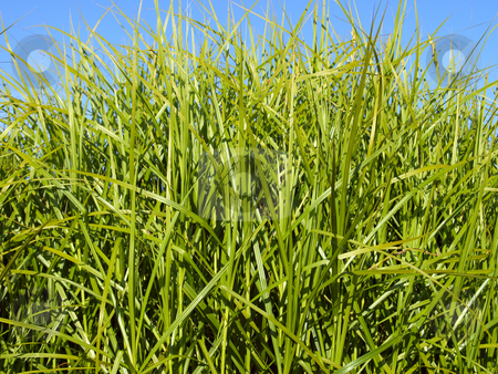 Green grass stock photo, Green grass by Vadim Pats