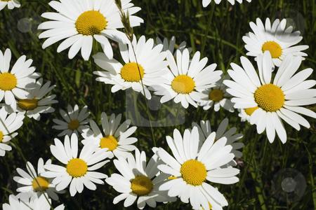 Daisies stock photo, Flower by David Chapman