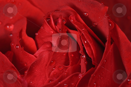 Red Rose stock photo, Beautiful Red Rose with water drops on it by Brandon Bourdages