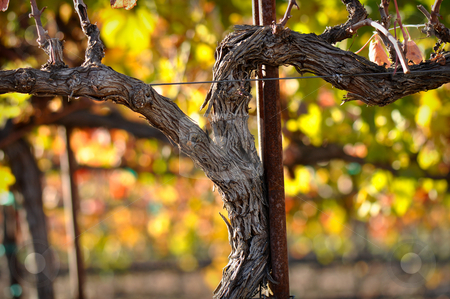 Red Wine Vine stock photo, Close up of a Red Grape Wine Vine by Brandon Bourdages