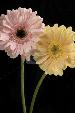 Pastel Duo - vertical stock photo, Pastel Pink and butter lemon gerberas stand against a black background by Leah-Anne Thompson