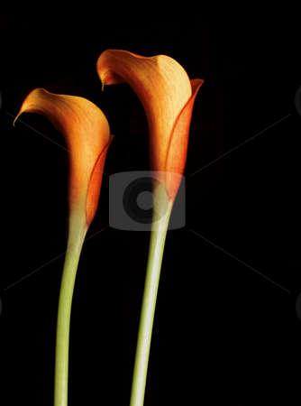 Orange Calla Lillies stock photo, Orange Calla Lillies on black.   Callas are also known as the trumpet flower after the archangel Gabriel added contast/saturation by Leah-Anne Thompson