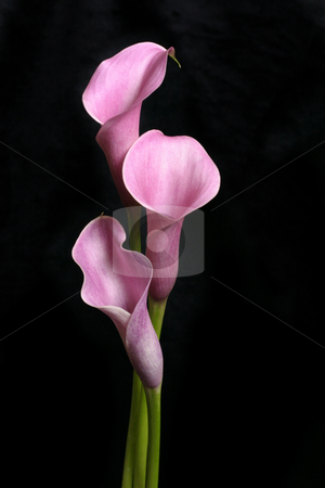 Three Callas on Black stock photo, Three pretty callas stand against a black background.  Callas produce long stems with a 5cm funnel shaped flowerhead.   Callas are also known as trumpet lily and Lily of the Nile. by Leah-Anne Thompson