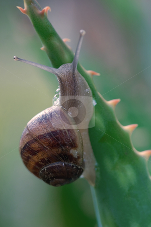 Snail stock photo, A snail climbing a spikey aloe plant.  The snail is able to move on very sharp pointed needles,razors and vines without being injured because its mucus secretion helps to protect its body. The foot, which is mostly muscle tissue, is the main source of propulsion for the snail. The pedal gland at front end of the foot secretes a thin mucus for the snail to move along.  You can see some of this mucus bubbling out in this picture. Focus on back of snail only. by Leah-Anne Thompson