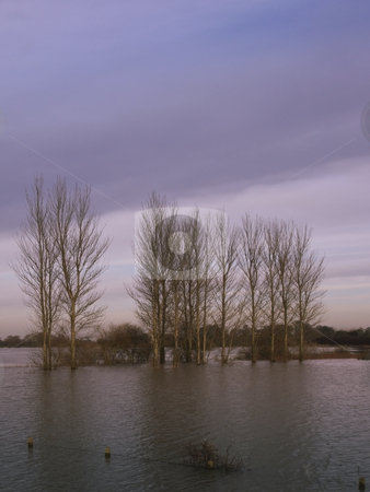 Flooded poplars in winter stock photo, A row of flooded poplar trees at dusk on a winters evening by Mike Smith