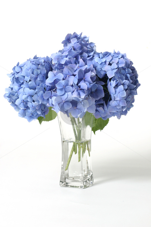 Hydrangeas in vase stock photo, Mophead hydrangeas in a glass vase.    Hydrangeas produce larger mopheads made up of clusters of small flowers from Summer through Autumn.  Flower colour can change from blues /purples through to pinks, depending on the ph of your soil.  Acidic soils will produce the blues, alkaline will produce pinks.  Excellent cut flower. by Leah-Anne Thompson