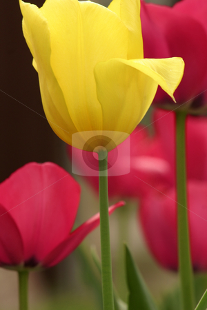 Tulips stock photo, Colourful tulips by Leah-Anne Thompson