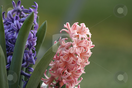 Pink and Purple Hyacinth stock photo, Pink and purple hyacinth blooms in the garden. Hyacinth are spring flowering bulbs with spikes of heavily fragrant, waxy flowers. Leaves are deep green, strap-like and form in clumps. Hyacinths grow between 10-20cm (4-8
