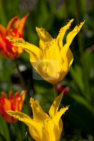 Tulip stock photo, Nature series: red and yellow tulip in spring season by Gennady Kravetsky