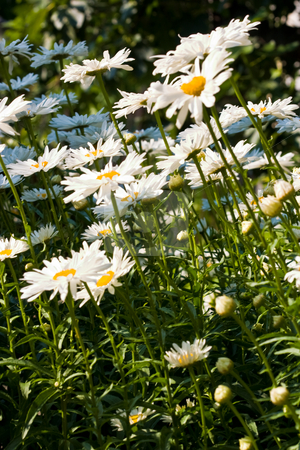 Camomile stock photo, Nature series: white camomile flowers in bloom by Gennady Kravetsky
