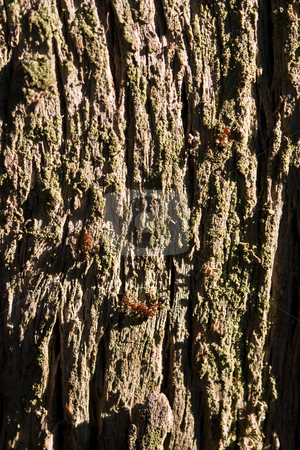 Bark stock photo, Nature series: macro of old tree textured bark by Gennady Kravetsky