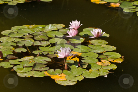 Water-lily stock photo, Nature series: water-lily blossom in summer season by Gennady Kravetsky