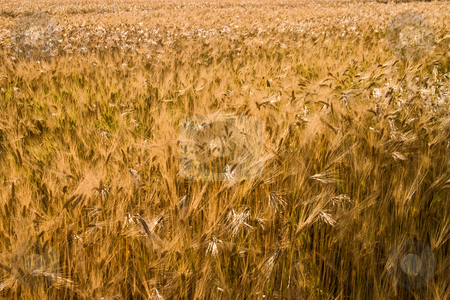 Wheat stock photo, Food series: ripe wheat field in summer by Gennady Kravetsky