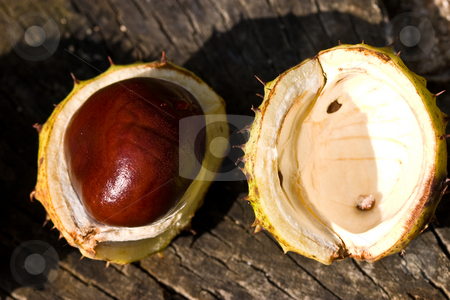 Chestnut stock photo, Nature series: ripe chestnut in the rind by Gennady Kravetsky