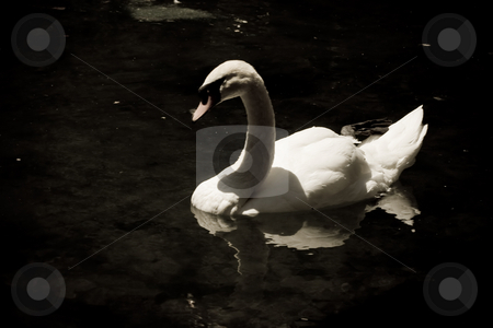 Swan stock photo, Animal series: white swan in the lake by Gennady Kravetsky