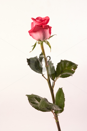 Roses for love stock photo, Flower series: red rose with waterdrop over white by Gennady Kravetsky