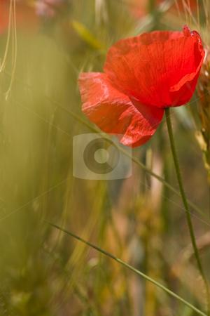 Poppy stock photo, Nature series: macro picture of poppy flowers by Gennady Kravetsky