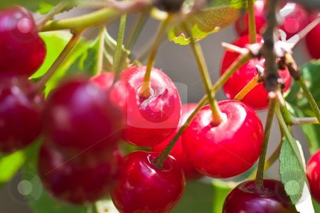 Cherry tree stock photo, Nature series: branch of cherry tree loaded with cherries by Gennady Kravetsky