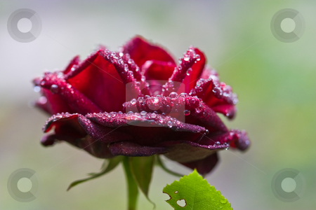 Rose stock photo, Nature series: red rose flower with waterdrops by Gennady Kravetsky