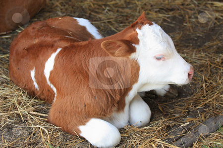 Calf stock photo, Rest is good for a tree days ago birded calf by ARPAD RADOCZY