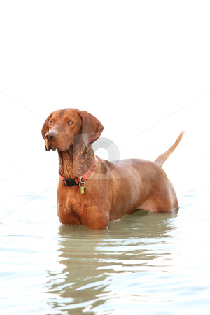 Dog portrait stock photo, The hungarian retriever is a very good shooter hound by ARPAD RADOCZY