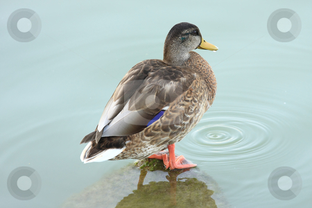 Duck stock photo, A young wild-duck is resting on shore of the lake by ARPAD RADOCZY