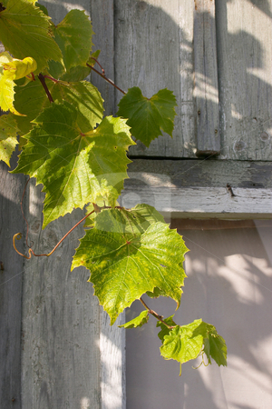 Grapevine stock photo,  by Stanislovas Kairys