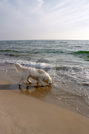 Dog Retriever on the Beach 2 stock photo,  by Stanislovas Kairys