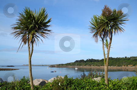 Two palm trees, Porthcressa St. Mary's Isles of Scilly Cornwall UK stock photo, Two palm trees, Porthcressa St. Mary's Isles of Scilly Cornwall UK by Stephen Rees