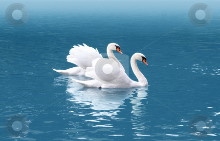 Two swan stock photo, A photography of two white swan in love by Markus Gann