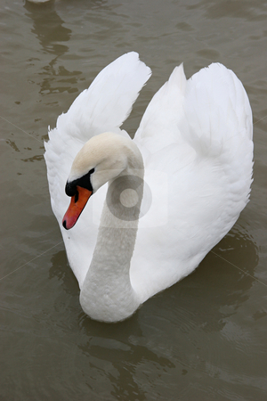 Swan in the lake stock photo, White swan,  symbol of silence and grace by Roberts Ratuts