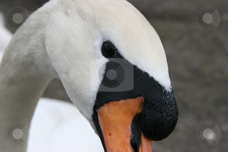 Portrait of a swan stock photo, White swan,  symbol of silence and grace by Roberts Ratuts