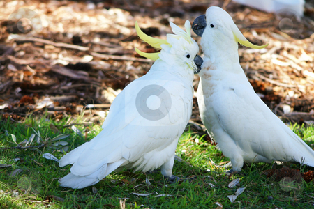 Canoodling cockatoos stock photo, Canoodling cockatoos in the wild. by Leah-Anne Thompson