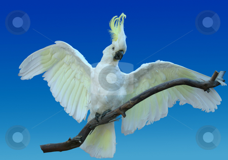 LIfelike cockatoo stock photo, Life-like cockatoo - this is a taxidermy by Leah-Anne Thompson