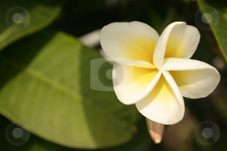 Tropical frangipani stock photo, Frangipani flower on tree in sunlight.