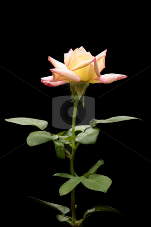 Peace Rose stock photo, Long stemmed fragrant Peace rose against dark background. by Leah-Anne Thompson