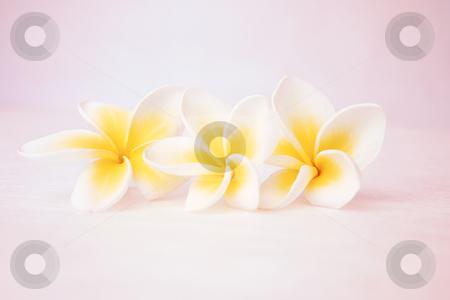 3 frangipanis stock photo, Three frangipanis (f4) by Leah-Anne Thompson