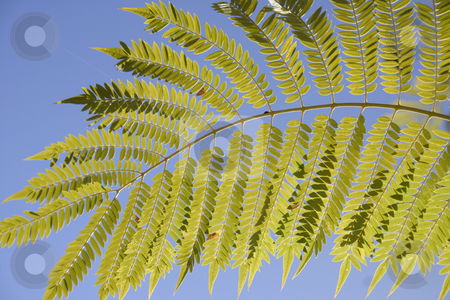 Jacaranda leaf stock photo, Jacaranda leaf against a blue sky by Leah-Anne Thompson