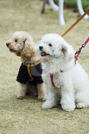Two adorable dogs stock photo, Two adorable dogs sitting in lawn side by side by Tito Wong